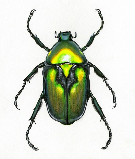 Beetle Illustrations