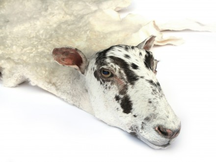 A Real Sheepskin Rug
